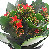 카랑코에(꽃색랜덤발송)|