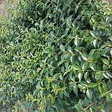 당광나무 묘목 100주 한셑|