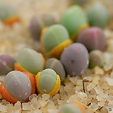 기배윰속 콤프토니 씨앗 (20립이상)|Gibbaeum cryptopodium