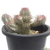 백화기린(구갑기린금)|Euphorbia submamillaris