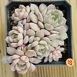 에케글로블로사27|Echeveria globulosa
