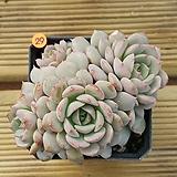 에케글로블로사29|Echeveria globulosa