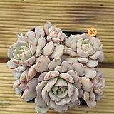 에케글로블로사30|Echeveria globulosa