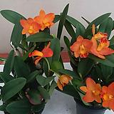 카틀레야(신풍橙色).신품종.(橙色).꽃눈이많이달림|