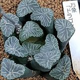 만상 씨앗(드레곤) 10개|Haworthia maughanii