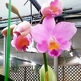 카틀레야(사쿠라糖果).여성스러운꽃.꽃大|