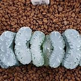 옥선 씨앗(사락) 5개|Haworthia truncata