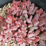 가을의서리철화 Echeveria cv. AKINOSHIMO