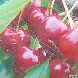 체리나무(라핀) 자가수정 고급유실수 (1주가격)|