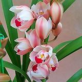 [진아플라워]白色的브라운심비디움꽃大4大~|