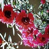 호주매화,빨강겹 