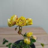 노랑겹사랑초 꽃대 