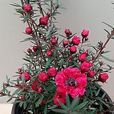 호주매화(꽃대중품) 