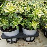 까라솔(일월금)중품 Aeonium decorum f variegata