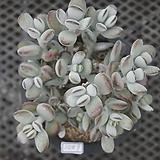 방울복랑묵은둥이6201|Cotyledon orbiculata cv