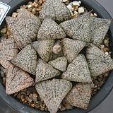 일본픽타6227|Haworthia picta