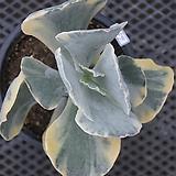 은파금희광(사이즈좋아요)6259|Cotyledon undulata