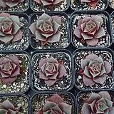 원종롱기시마(랜덤)|Echeveria longissima