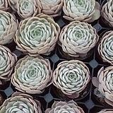 온슬로우(랜덤)|Echeveria cv  Onslow