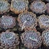 핑크자라고사중품(랜덤)|Echeveria mexensis Zaragosa