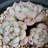 붉은가시 자라고사 Echeveria Cuspidata var. Gemmula