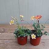 피치옐로우/하이오렌지 사랑초 꽃대가득해요 
