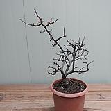 (단품)장수락 명자나무 꽃몽우리가득 Echeveria Riga