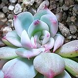 치와와백금군생|Eeveria chihuahuaensis