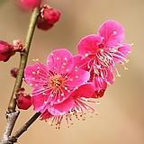 홍매화(비매-5)-동일품배송 Echeveria Multicalulis  Ginmei Tennyo