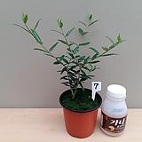 올리브나무/7(소품)-동일품배송 
