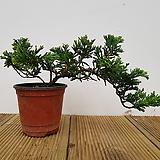누운향나무(무늬종) 