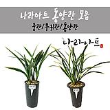 동양란合并/난/꽃/동양란/서양란/공기정화식물/풍란/부귀란/野生란/花盆/나라아트|