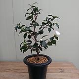 (단품)희백설동백 활착품 sedum spathulifolium