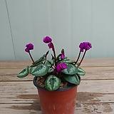 (단품)원종시클라멘 자보라색꽃 
