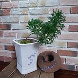 #(흰색,묵은주)목마가렛&파편-옹기분 Echeveria halbingeri