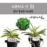 난合并/난/꽃/동양란/서양란/공기정화식물/풍란/부귀란/野生란/花盆/나라아트|