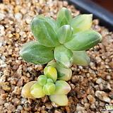 천대전송금 군생_0119 Pachyphytum compactum