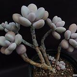 아메치스(목대적심)|Graptopetalum amethystinum