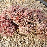턱시판철화 묵은둥이 Echeveria tuxpan