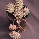 묵은수빙|Sedeveria cv. Supar brow