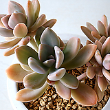 석연화금 577 Pachyveria Pachyphytodies