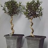 스파이럴 올리브나무♥유럽 직수입♥토피어리 타입♥참감람나무♥올리브 수입|