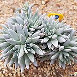 화이트그리니11두 자연군생_48 Dudleya White gnoma(White greenii / White sprite)