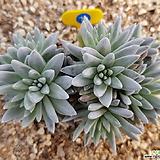 화이트그리니10두 자연군생_76 Dudleya White gnoma(White greenii / White sprite)