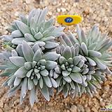 화이트그리니12두 자연군생_77 Dudleya White gnoma(White greenii / White sprite)