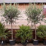 올리브나무♥유럽 직수입♥토피어리 타입♥참감람나무♥올리브 수입|