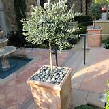 스프레드 올리브나무♥유럽 직수입♥토피어리 타입♥참감람나무♥올리브 수입|