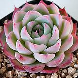 핑크크리스탈 800 Echeveria 'Pink Crystal' Echeveria elegans potosina Crystal