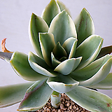 흑괴리금 868|Graptoveria Fred Ives