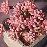 묵은미야꼬오도리(한몸)|Echeveria sp. MIYAKOODORI